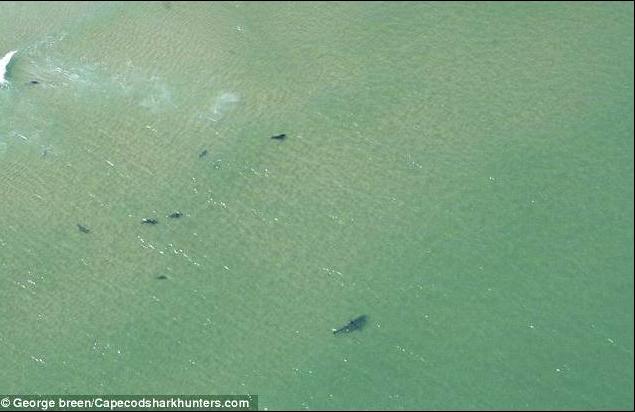 14 Foot Great White Shark & Friends